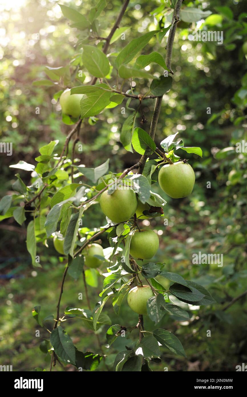 La cottura di mela albero nel giardino di casa con un sacco di mele sui rami Immagini Stock