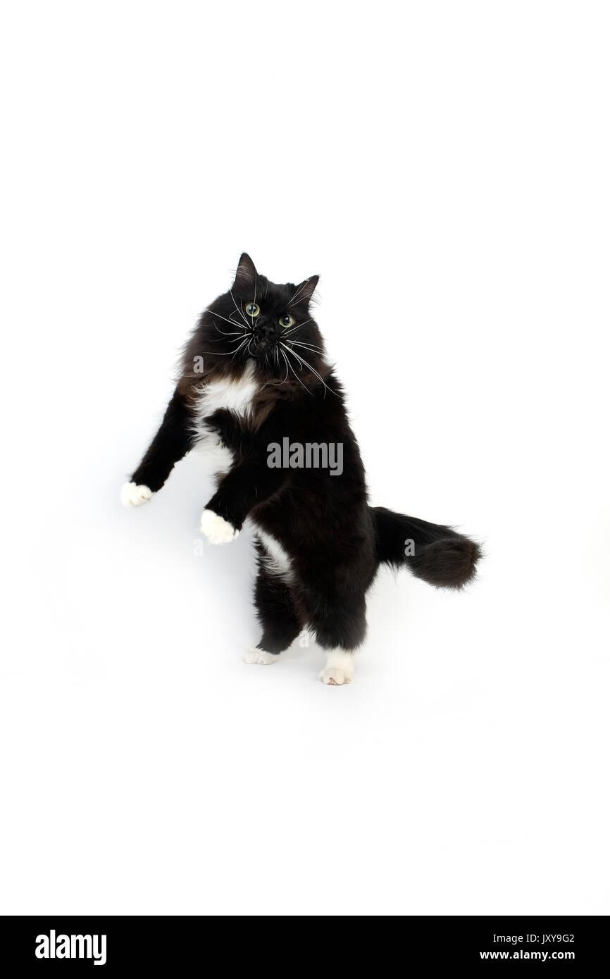 Bianco E Nero Gatto Siberiano Femmina In Piedi Sulle Zampe