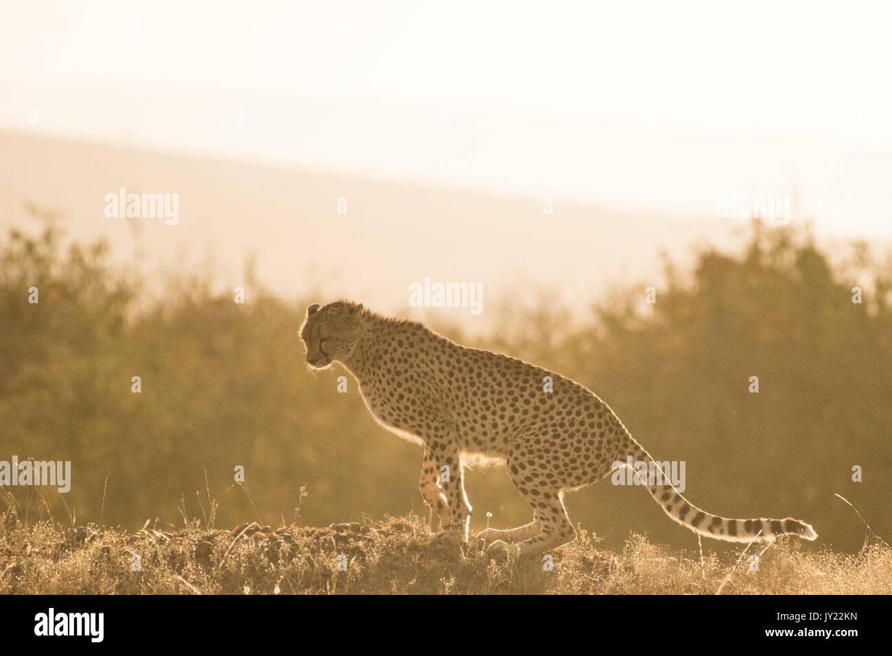 Ghepardo femmina retroilluminato in Masai Mara Game Reserve in Kenya Immagini Stock