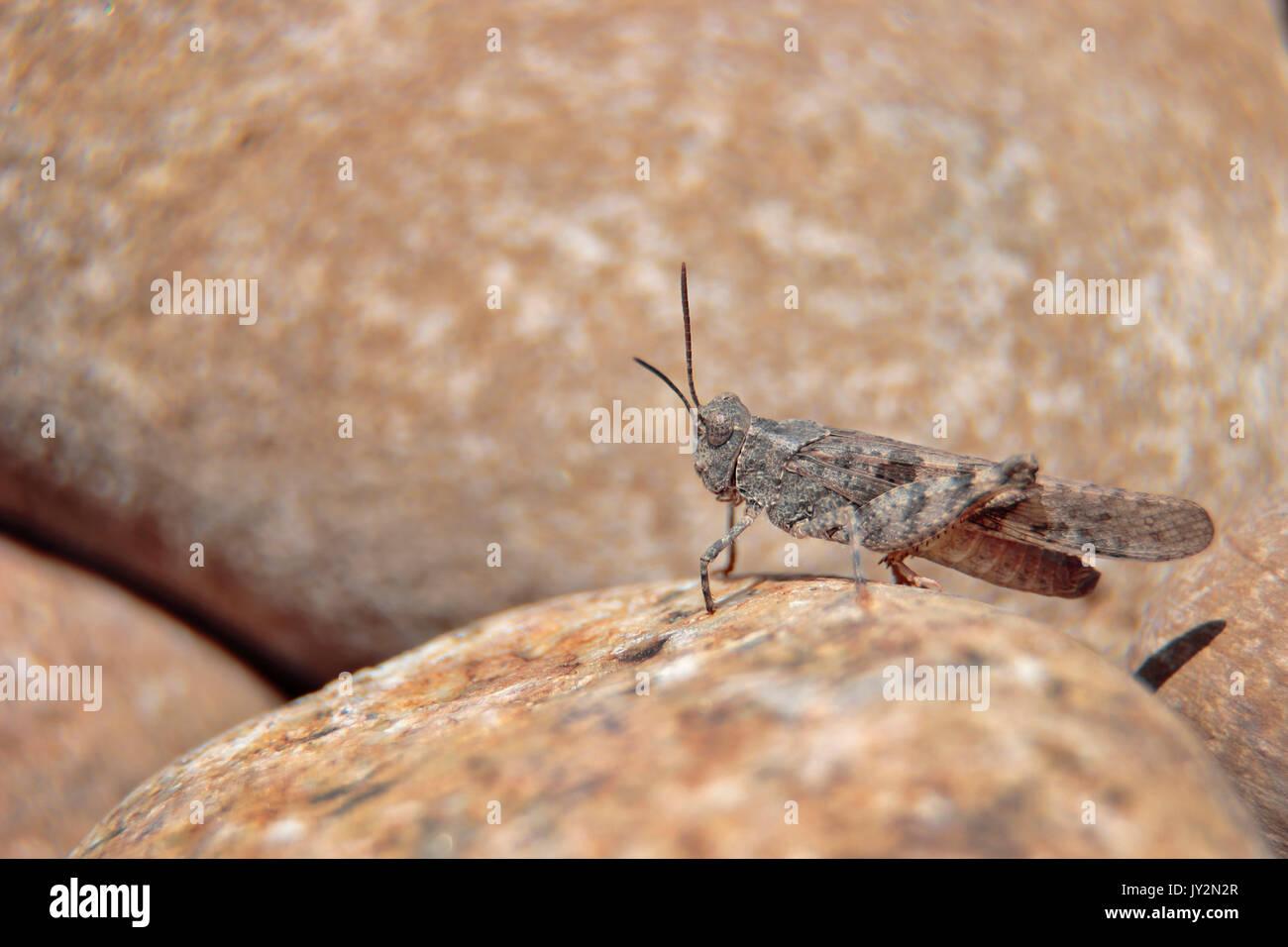 Trimerotropis ochraceipennis, especie de langosta común, que habita prácticamente en todos los lugares tanto rurales como urbanos. Immagini Stock