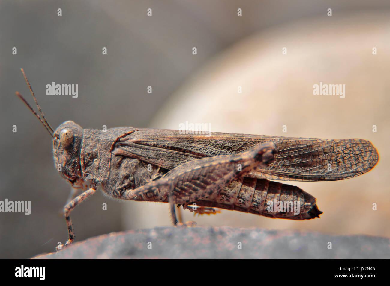 Trimerotropis ochraceipennis, especie de langosta común, que habita prácticamente en todos los lugares tanto rurales como urbanos; tomada con Tubos de Immagini Stock