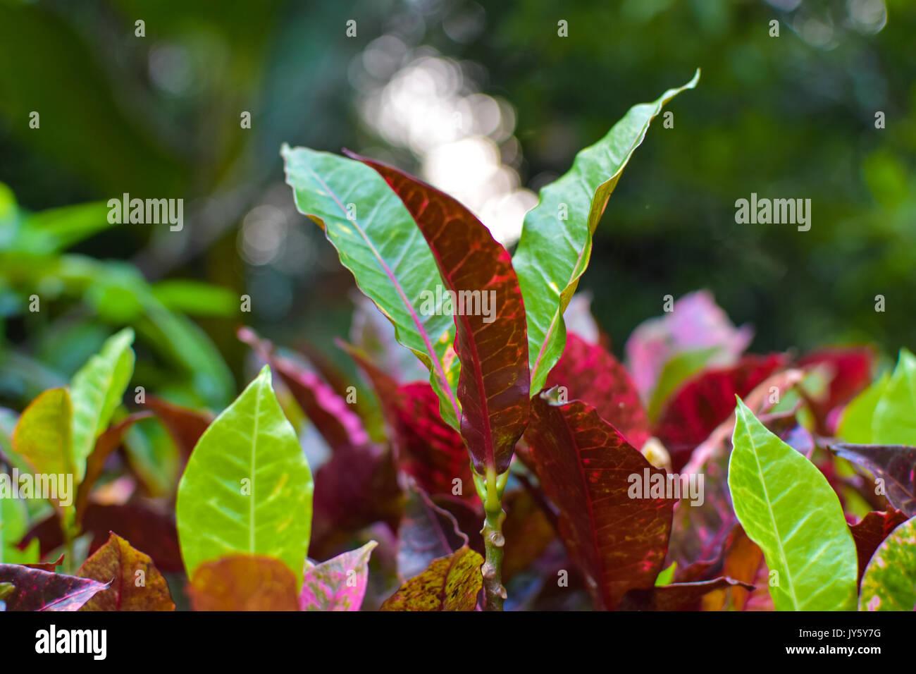 Pianta Foglie Rosse E Verdi verde giallo foglie rosse croton pianta - giardino le foglie