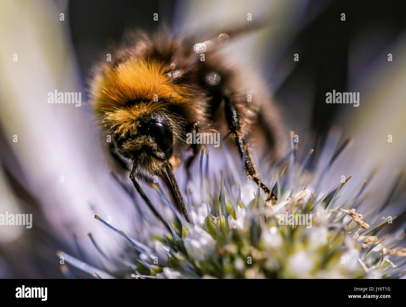 Una chiusura del miele delle api getting polline da Eryngium capolino, Shepperton, Surrey, Inghilterra U.K. Foto Stock