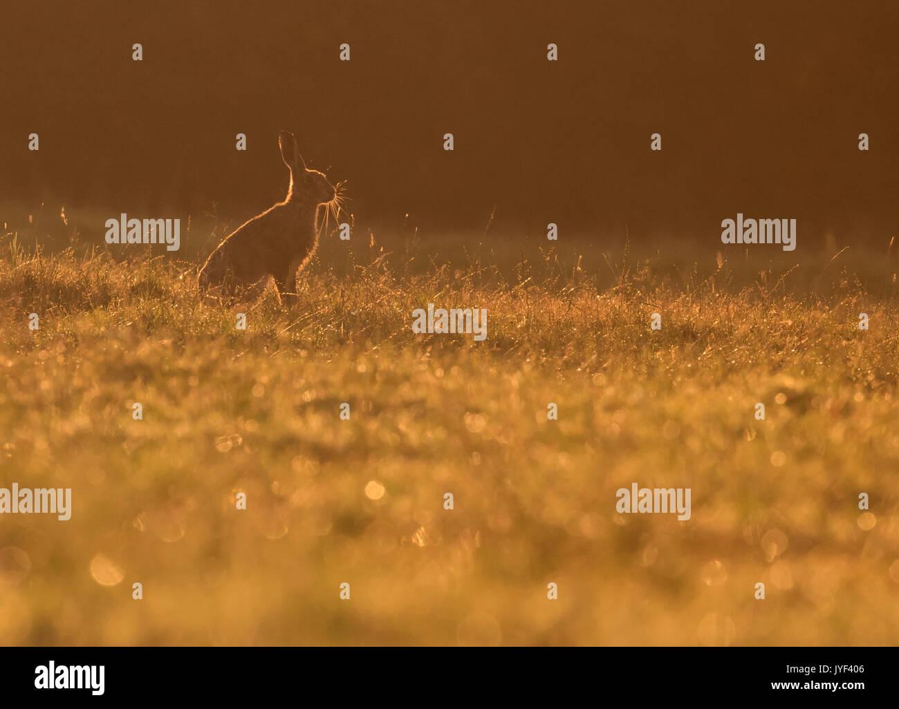 Un marrone lepre (Lepus europaeus) siede retroilluminati da Rising Sun, Warwickshire Immagini Stock