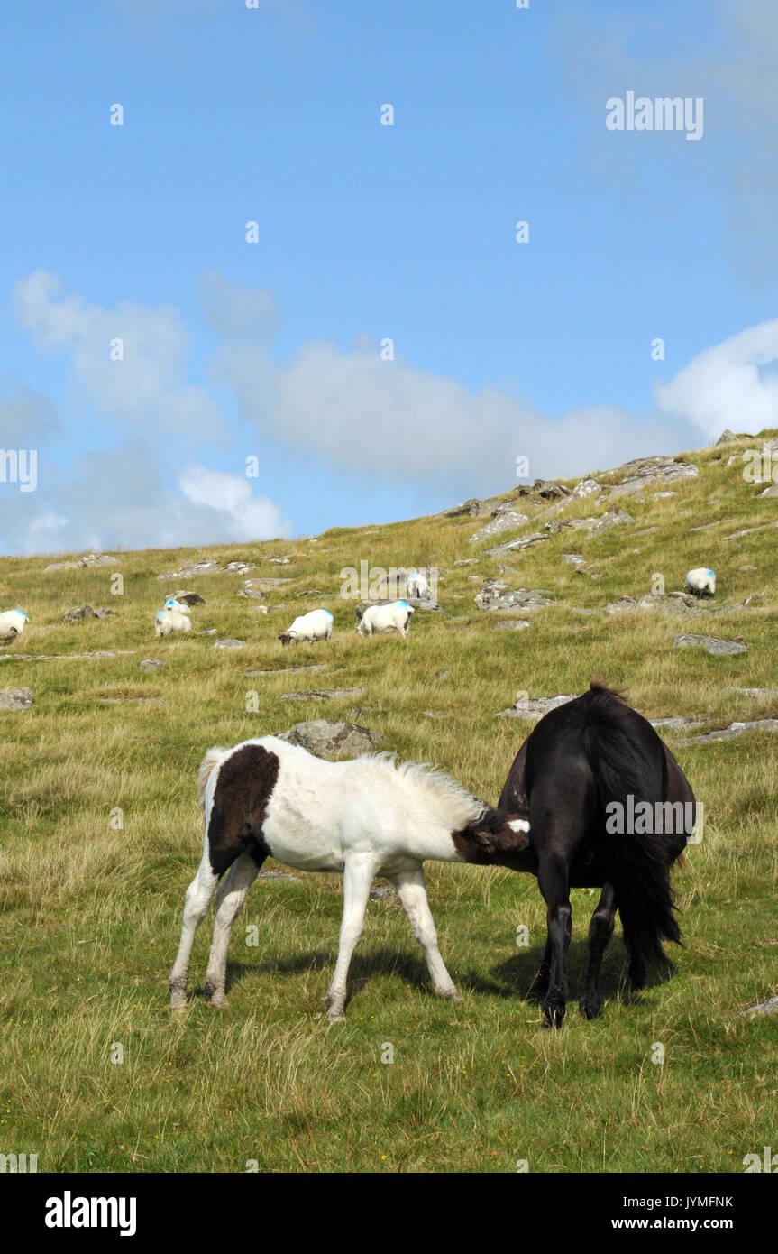 Pony o cavalli a tor ruvida, Bodmin Moor in Cornovaglia un puledro e la madre vicino insieme con il blu del cielo in background. Immagini Stock