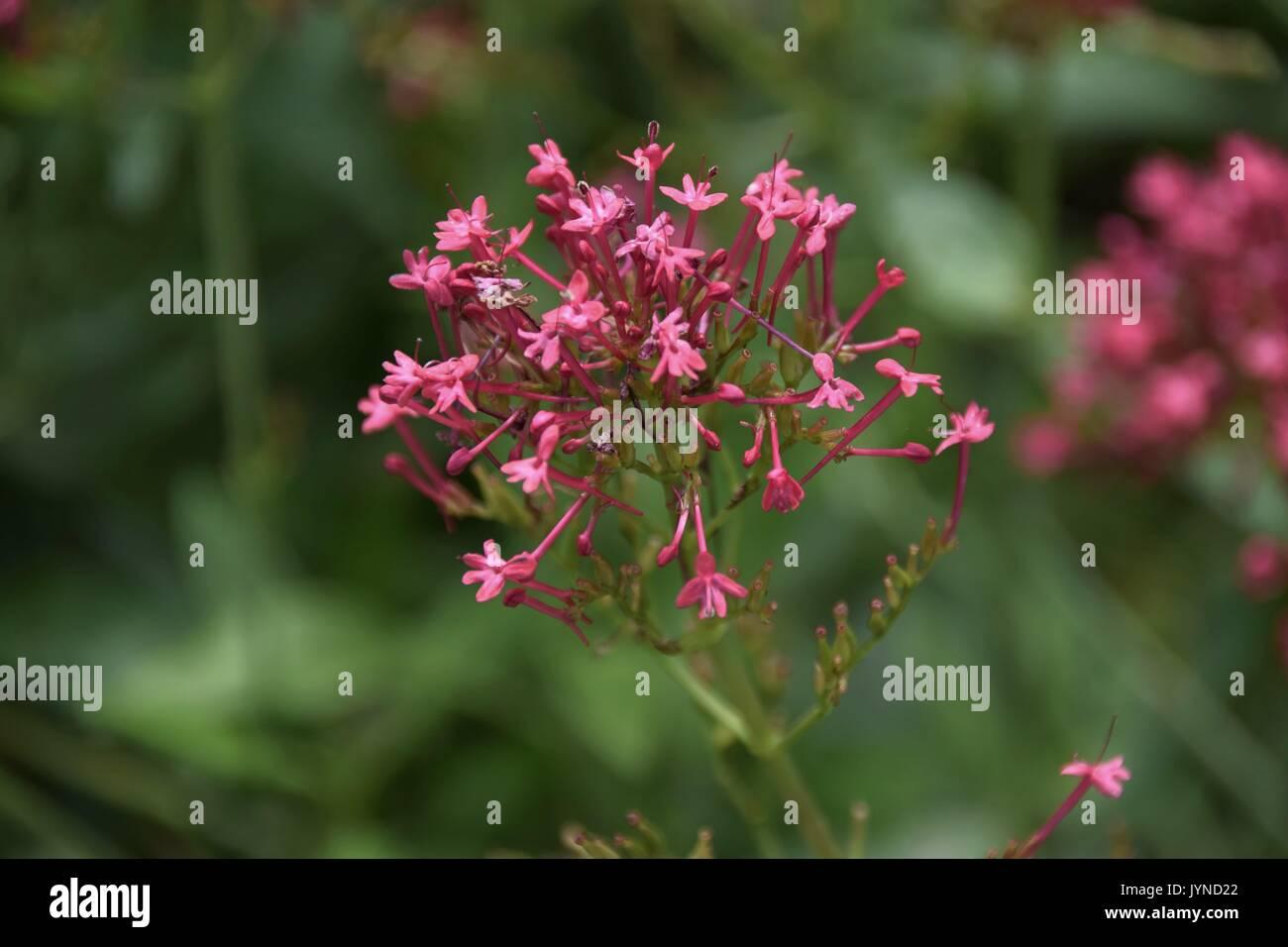 Barba Di Giove Sempreverde angiosperme immagini & angiosperme fotos stock - alamy