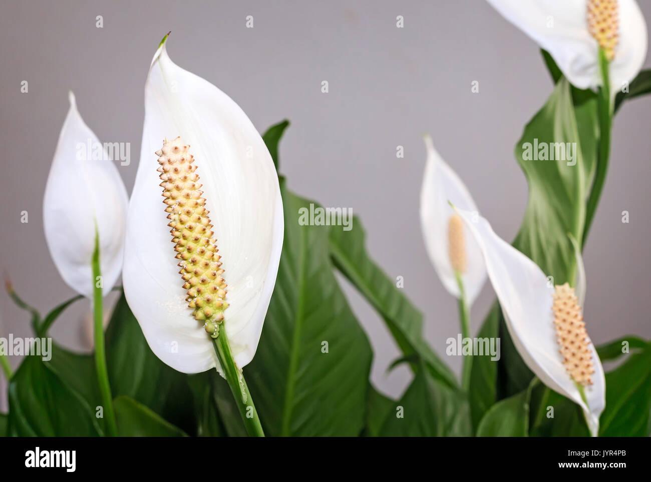 Bellissimi fiori bianchi e foglie verdi fiore tropicale Spathiphyllum su uno sfondo luminoso. Foto Stock