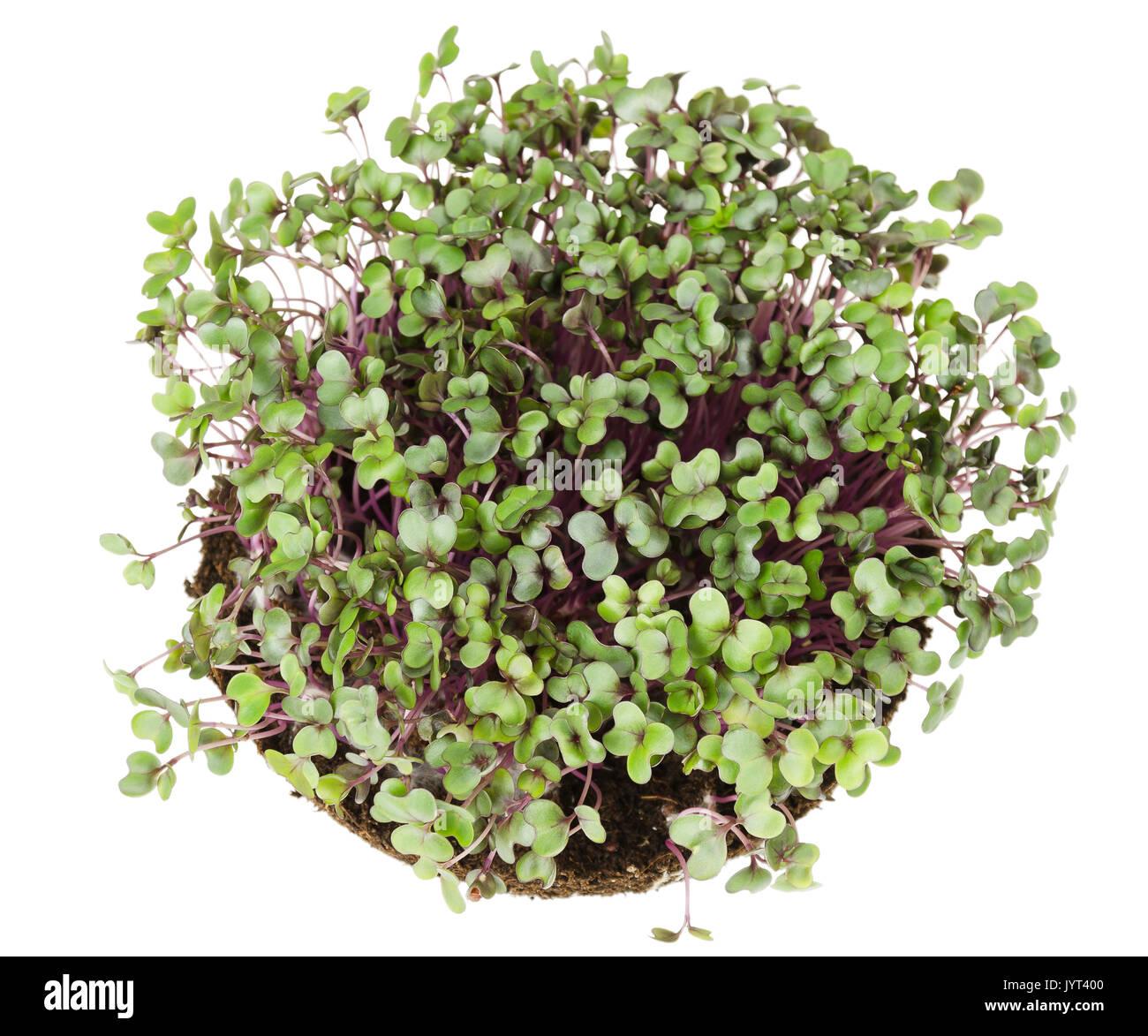 Cavolo rosso, i cavoli freschi e giovani foglie dal di sopra. Vegetali commestibili microgreen e. Noto anche come cavolo viola, rosso kraut o blu kraut. Immagini Stock