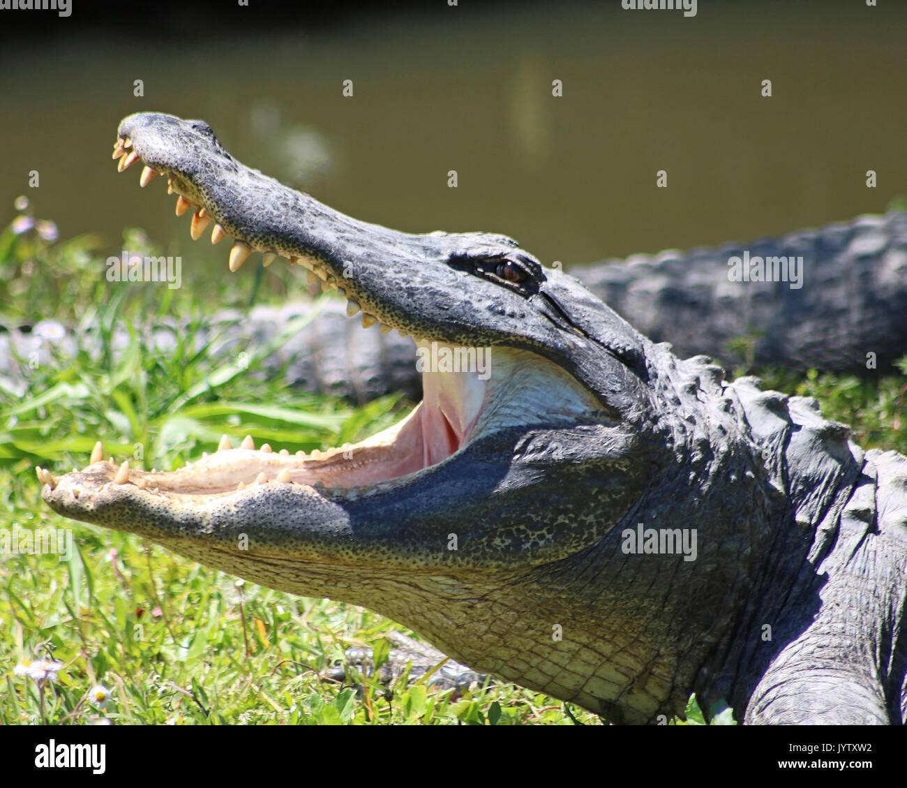 Alligatore nel profilo a bocca aperta Foto Stock