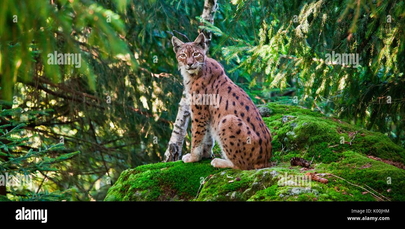 La Lince Europea Gatto Selvatico Delle Alpi Germania Europa Foto