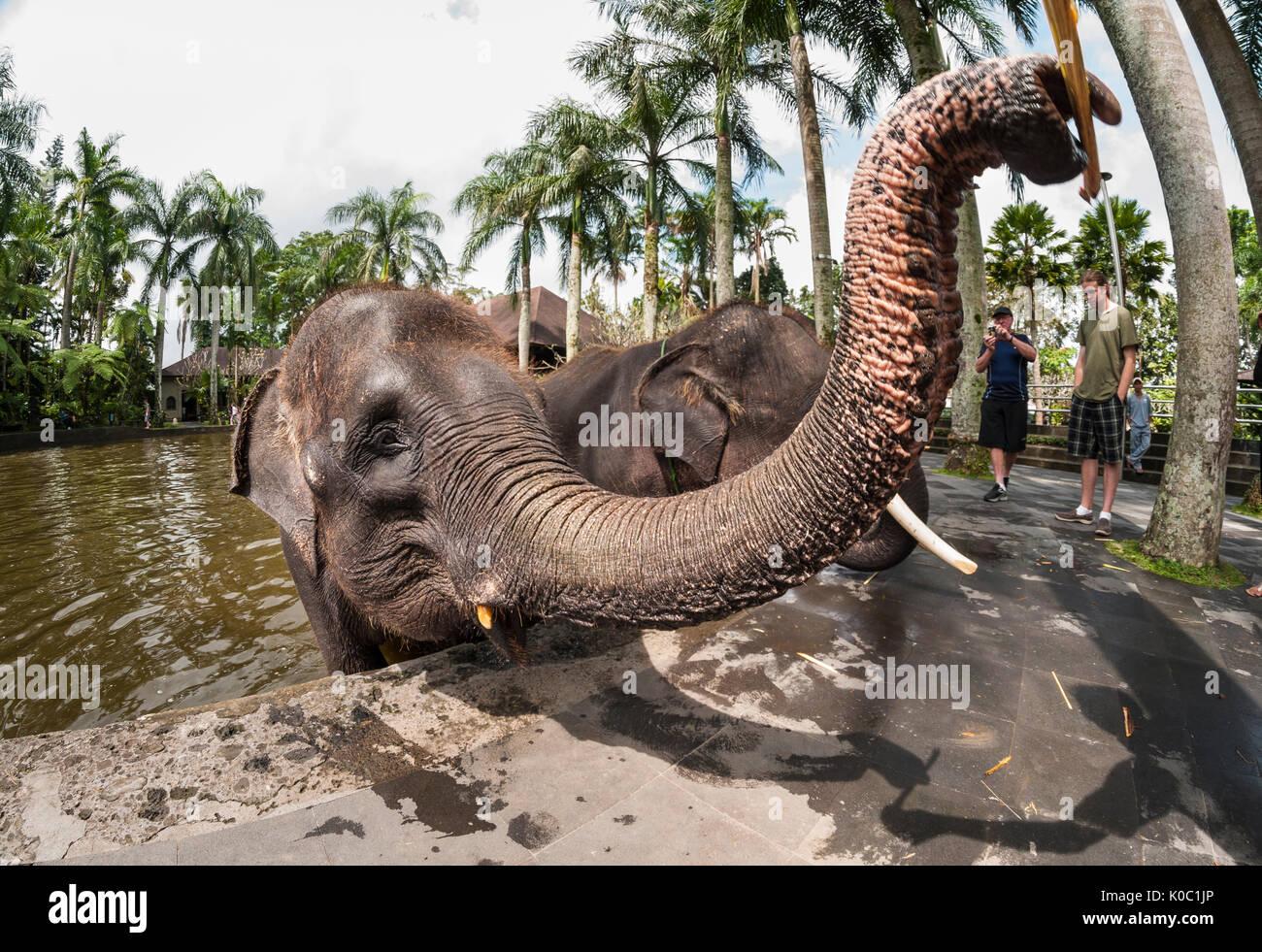 Alimentazione turisti salvato elefanti di Sumatra all'Elephant Safari Park di Taro, Bali, Indonesia Immagini Stock