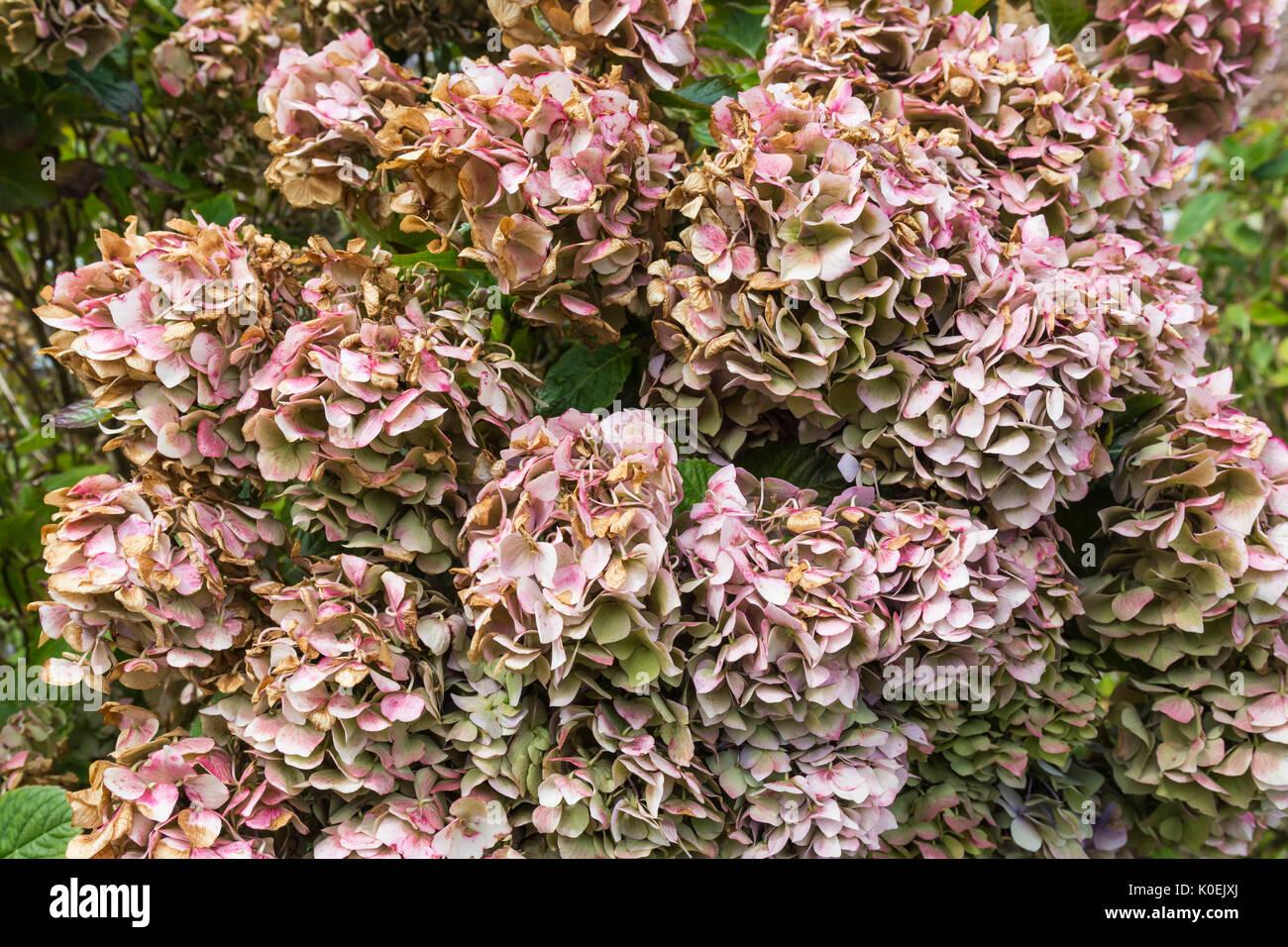 Morendo Mophead ortensie (Hydrangea macrophylla) vicino a fine estate nel West Sussex, in Inghilterra, Regno Unito. Dead ortensie. Immagini Stock