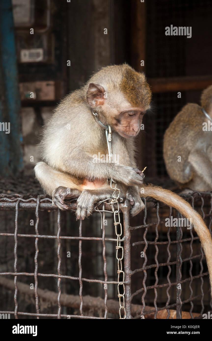 Incatenati, giovani, scimmia macaco in vendita presso il bird e il mercato degli animali a Denpasar, meridionale di Bali, Indonesia. Immagini Stock