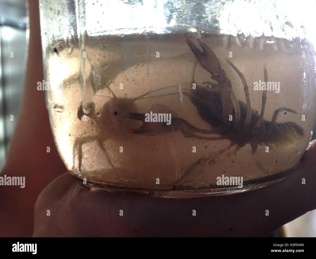 Gamberi di fiume catturato in un barattolo di vetro Foto Stock