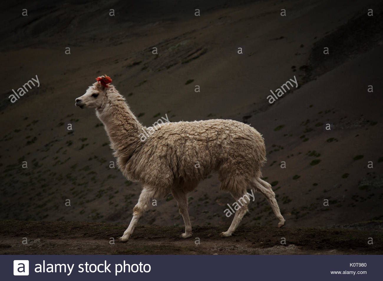 Llama Immagini Stock