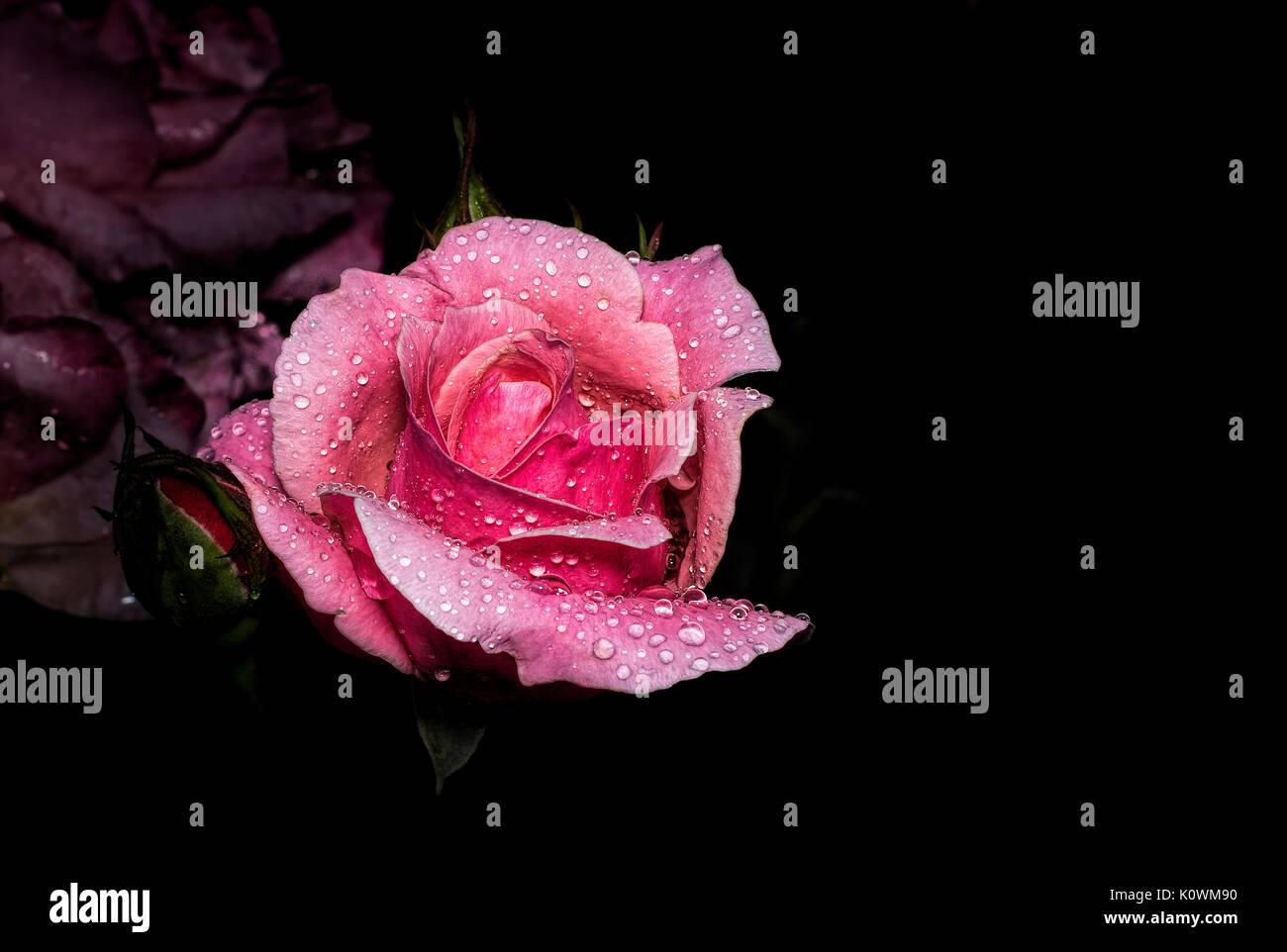 Luxury Immagini Di Rose Con Sfondo Nero Sfondo Italiano