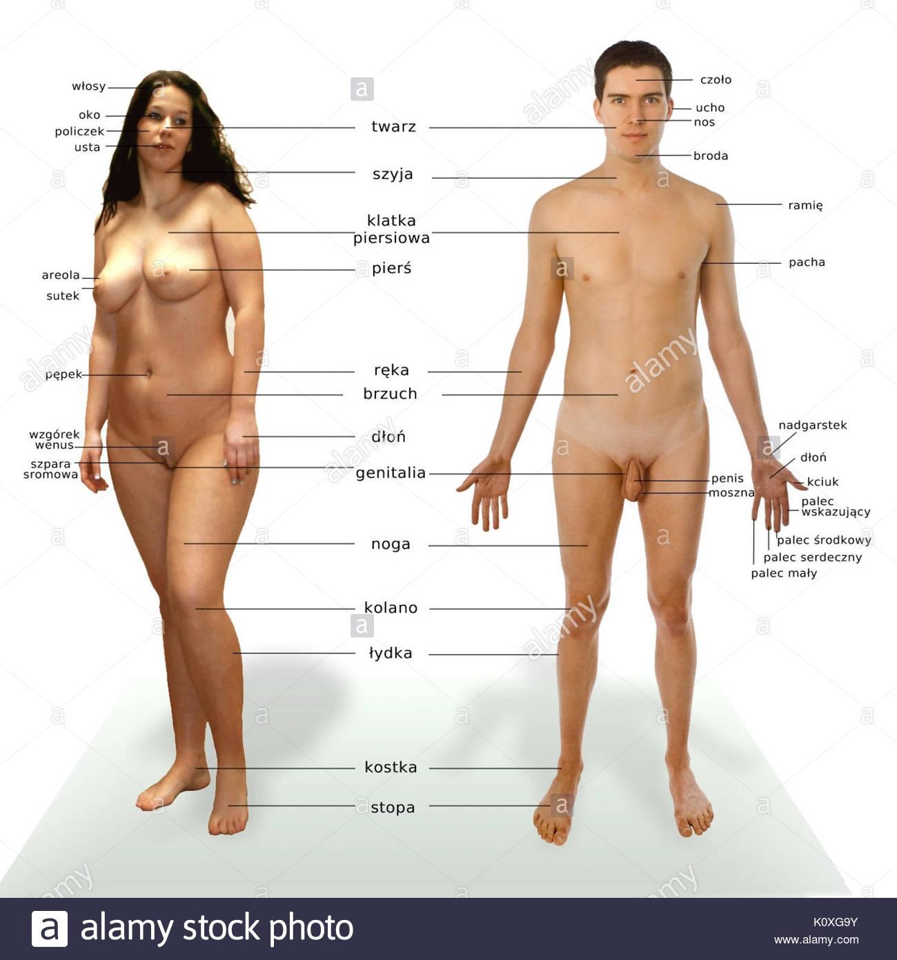 Anatomia czlowieka Immagini Stock