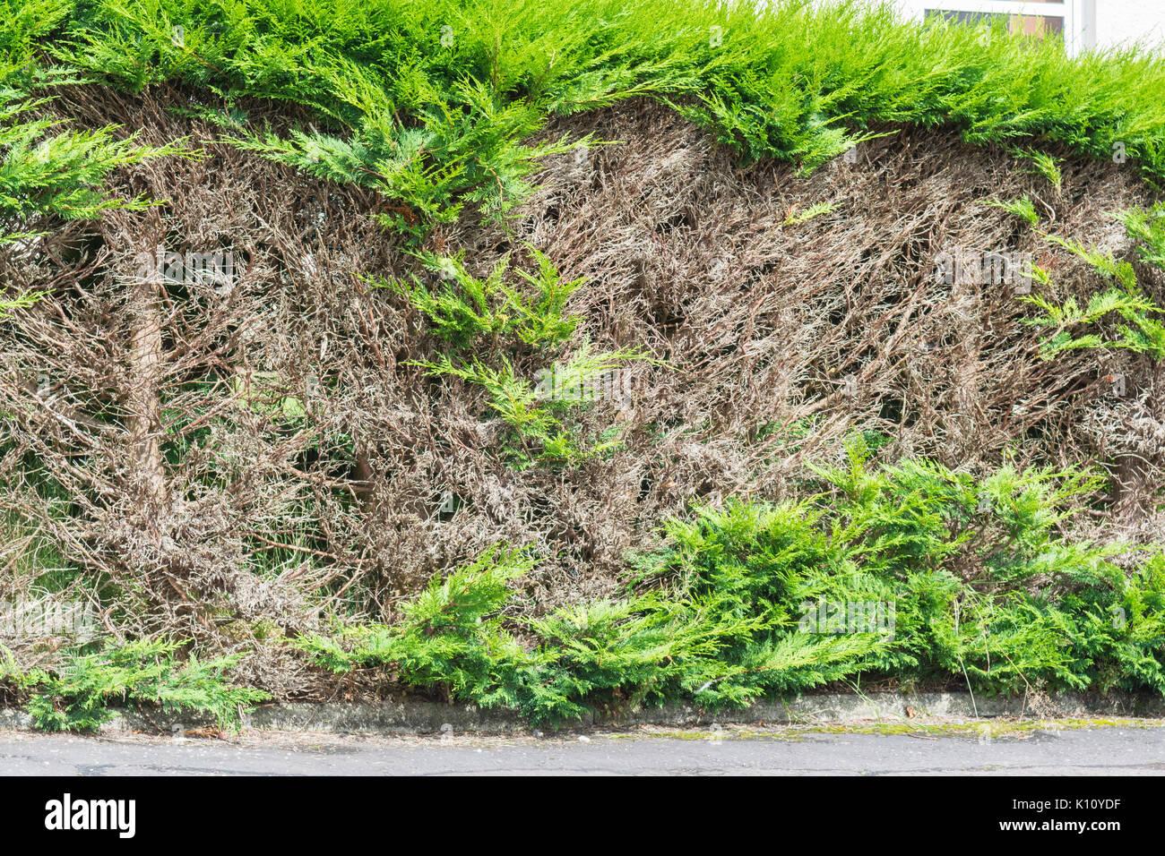 Siepe di conifere con patch nude dopo il taglio in legno vecchio Immagini Stock
