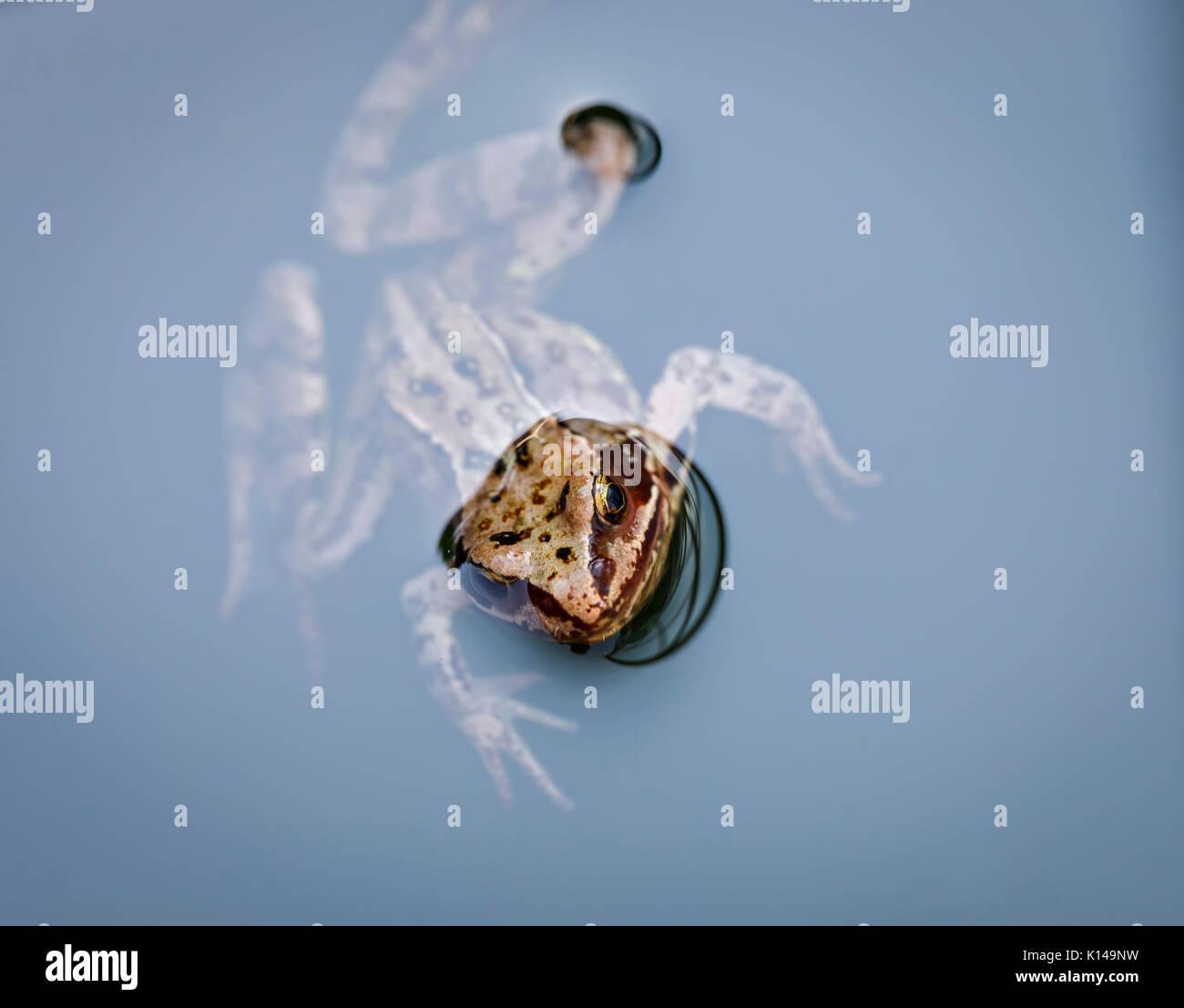 Testa di una politica europea comune in marrone, di rana temporaria Rana, nuoto in acqua, Surrey, sud-est dell'Inghilterra, Regno Unito, close-up Immagini Stock