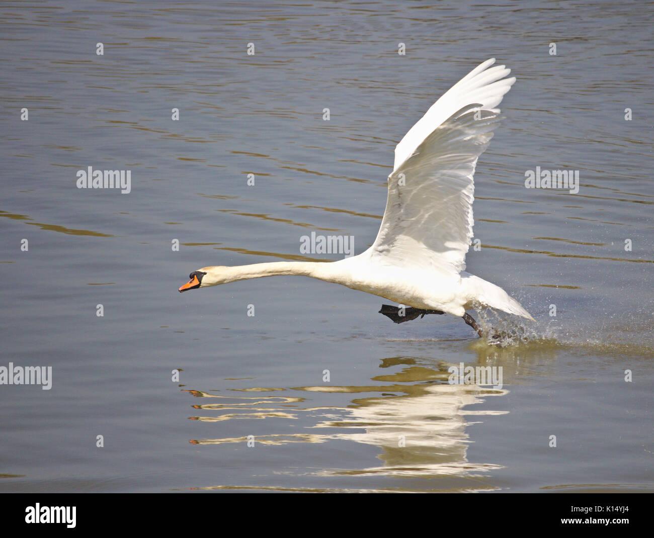 Cigno di decollare dal lago Immagini Stock