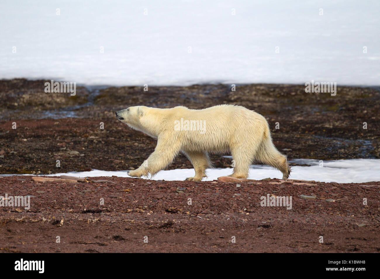Orso polare, Ursus maritimus, singolo adulto camminando sulla tundra. Presa in giugno, Spitsbergen, Svalbard, Norvegia Immagini Stock