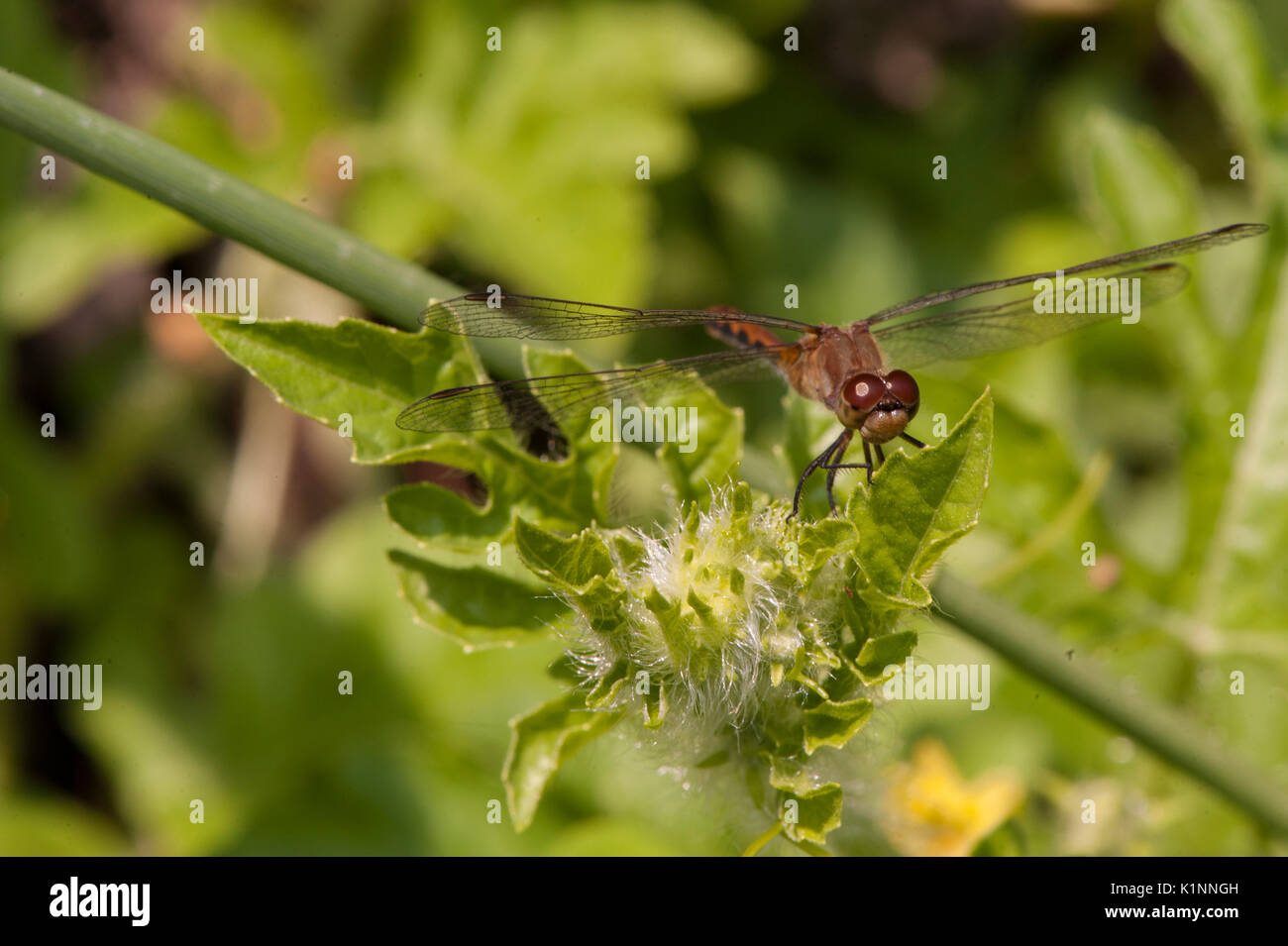 Una libellula su una foglia con ali stese. Immagini Stock
