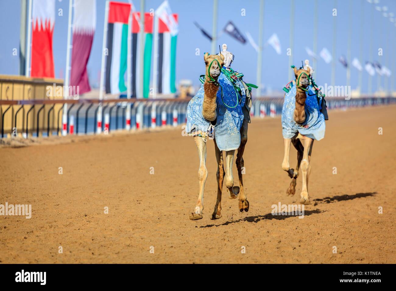 I cammelli con robot jokeys at racing pratica vicino a Dubai, Emirati arabi uniti Immagini Stock