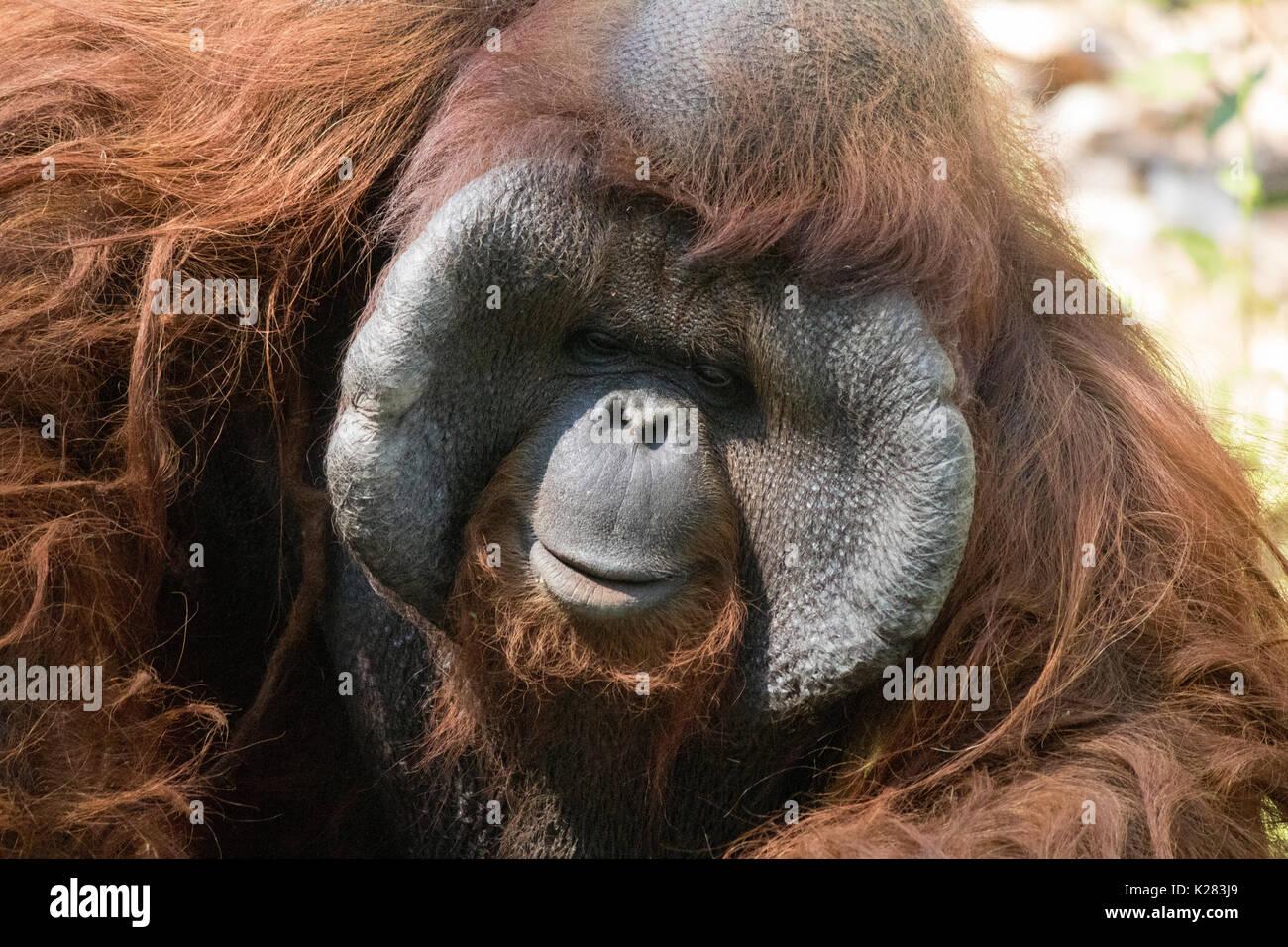 Orangutan in attesa per le persone a prendere le foto nel giardino zoologico in Thailandia, a volte sembrava triste Immagini Stock