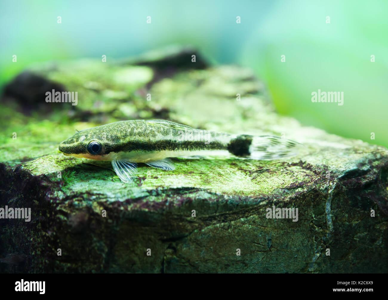 Otocinclus macrospilus vitattus pesci. Armored oto catfish dwarf sucker. Perfetto mangiatore di alghe. vista macro, soft focus. Immagini Stock