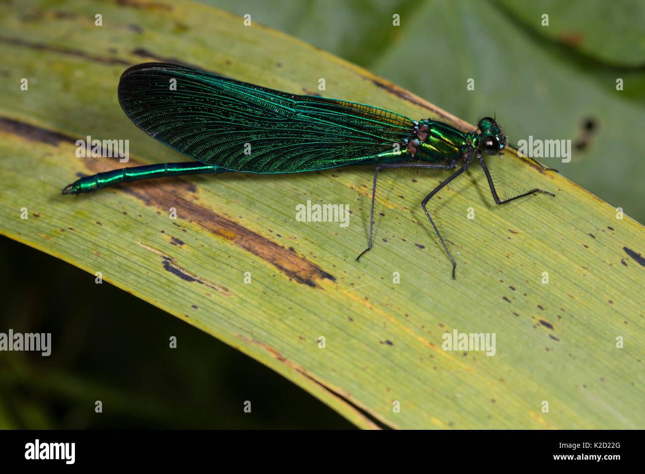Maschio maturo belle demoiselle damselfly, Calopteryx virgo, mostrando iridiscent blu colorazione verde sul corpo e le ali Immagini Stock