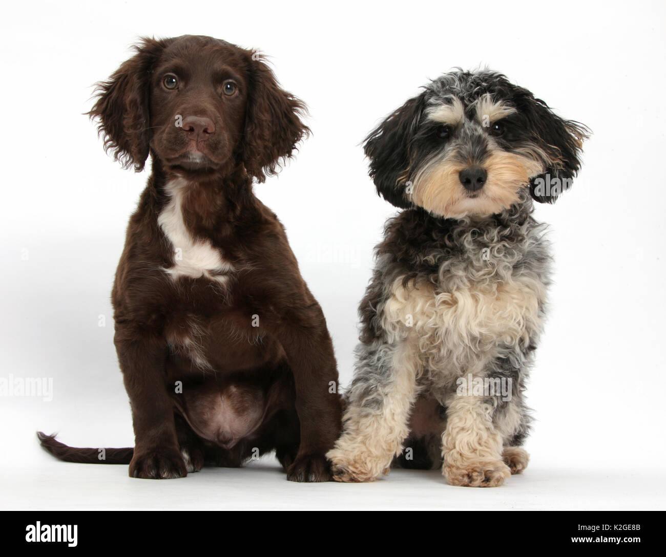 Tricolore merle Daxie-doodle cane bassotto cross Poodle, e cioccolato Cocker Spaniel. Immagini Stock