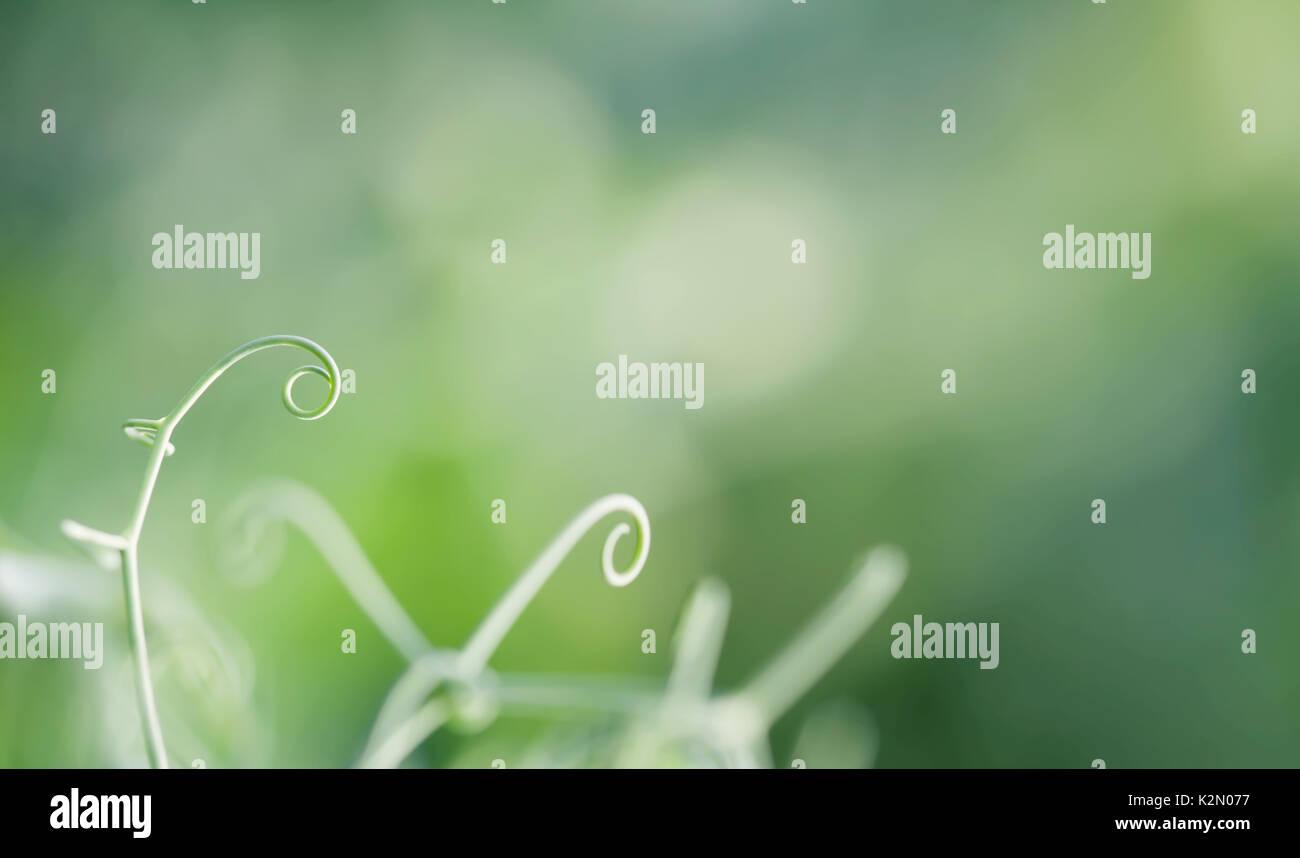 Pianta rampicante fiorire il telaio. Elegante germoglio verde vista macro, il fuoco selettivo bokeh bella foto, spazio copia Immagini Stock