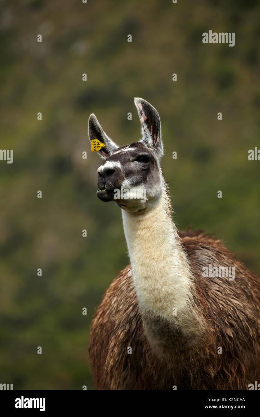 Llama a Machu Picchu (sito Patrimonio Mondiale), Perù, Sud America Immagini Stock