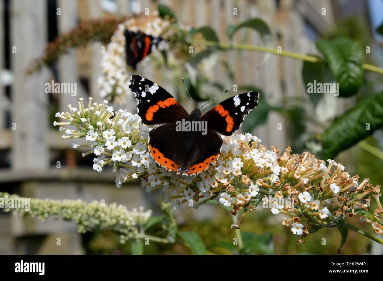 Vanessa Atalanta su buddleia fiori. Aprire le ali mostrano distintivo bianco rosso e marcature nere Immagini Stock