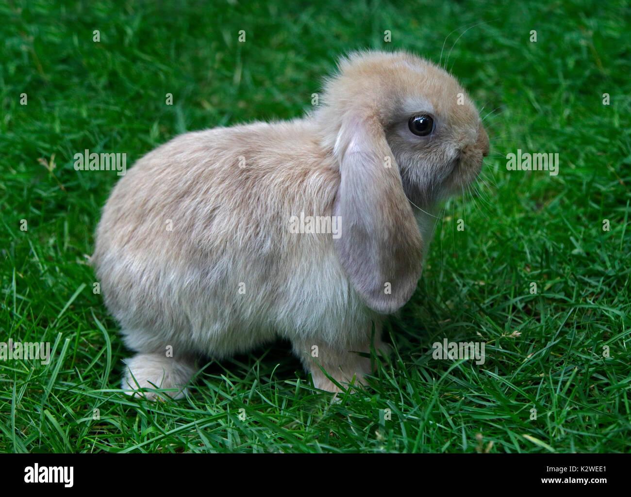 Baby e Mini Lop Rabbit Doe Immagini Stock