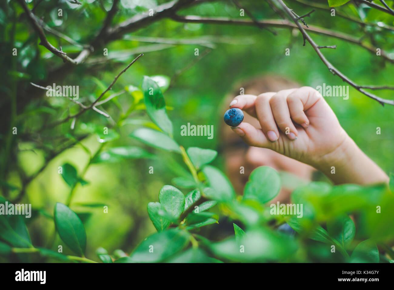 Bambino mani di mirtilli freschi da una fattoria. Foto Stock