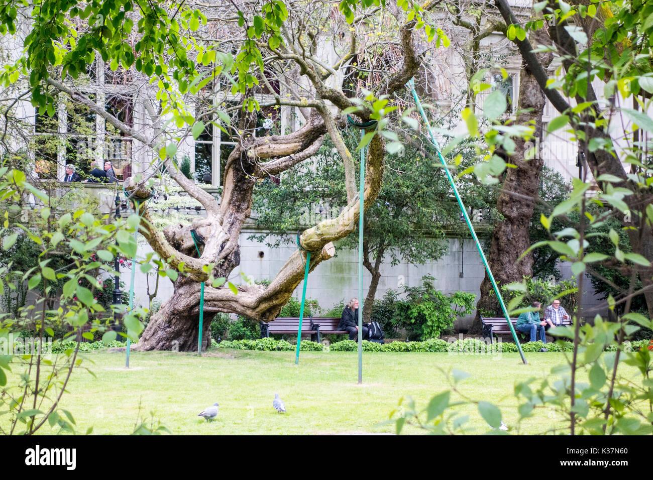 Antica catalpa con succursali supportati da puntelli di legno, Victoria Embankment Gardens, Città di Londra, Regno Unito Immagini Stock