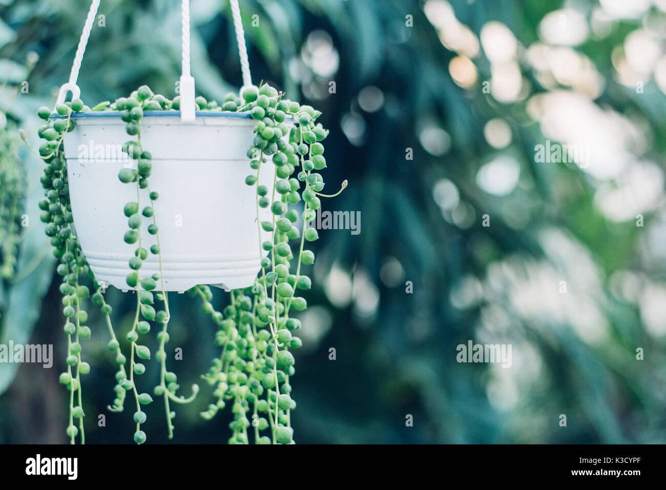 Filo di Perle di piante succulente appesi in una serra, che simboleggiano la calma e la serenità Immagini Stock