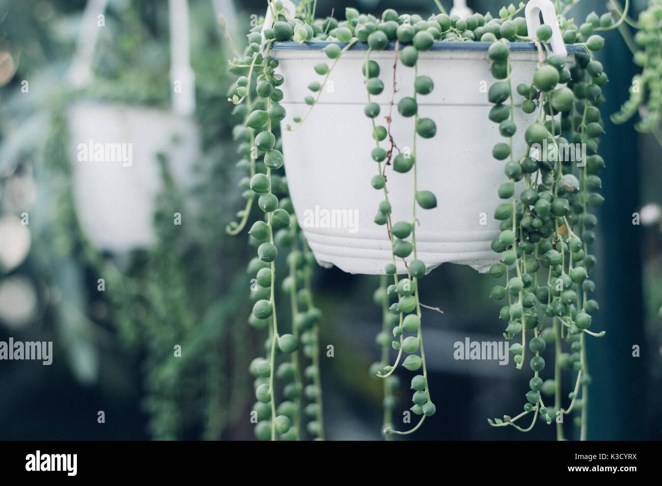 Filo di Perle di piante succulente appesi in una serra, che simboleggiano la calma e la serenità con spazio per la copia Immagini Stock