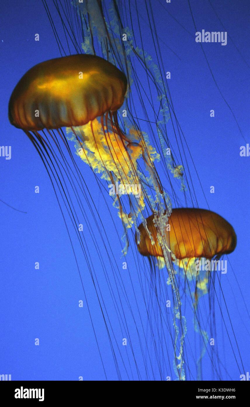 Meduse luminose, Pelagia noctiluca, medium close-up, Immagini Stock