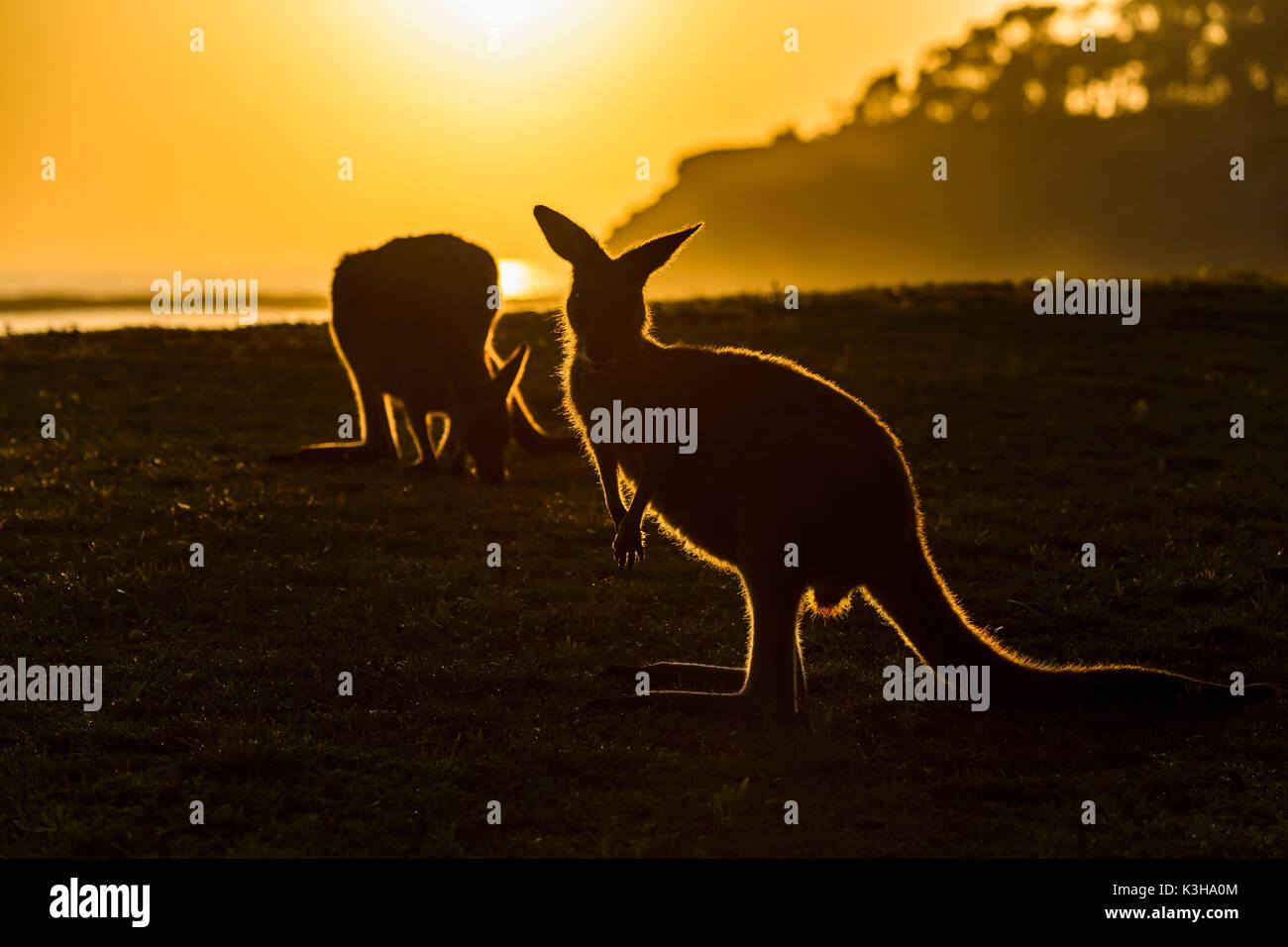 Grigio canguro, Macropus giganteus, due animali di Sunrise, Murramarang National Park, New South Wales, Australia Immagini Stock