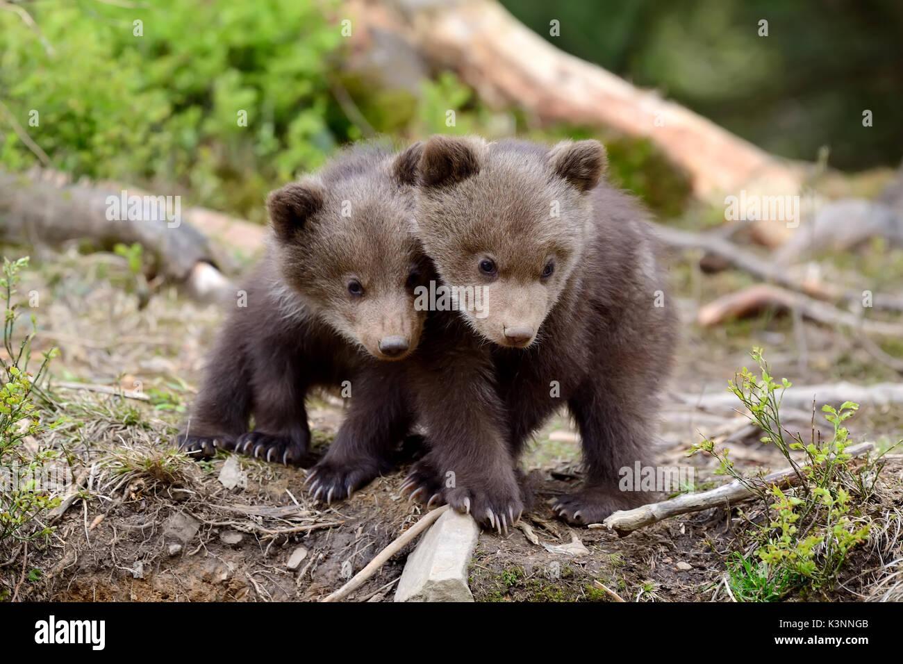 Giovani orso bruno nella foresta. Ritratto di orso bruno. Animale in natura habitat. Cub di orso bruno senza madre. Immagini Stock