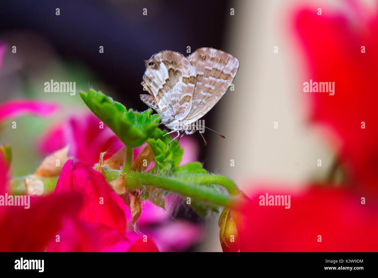 Cacyreus marshalli, alien specie di farfalle che proviene da Africa, su una foglia geranio Immagini Stock