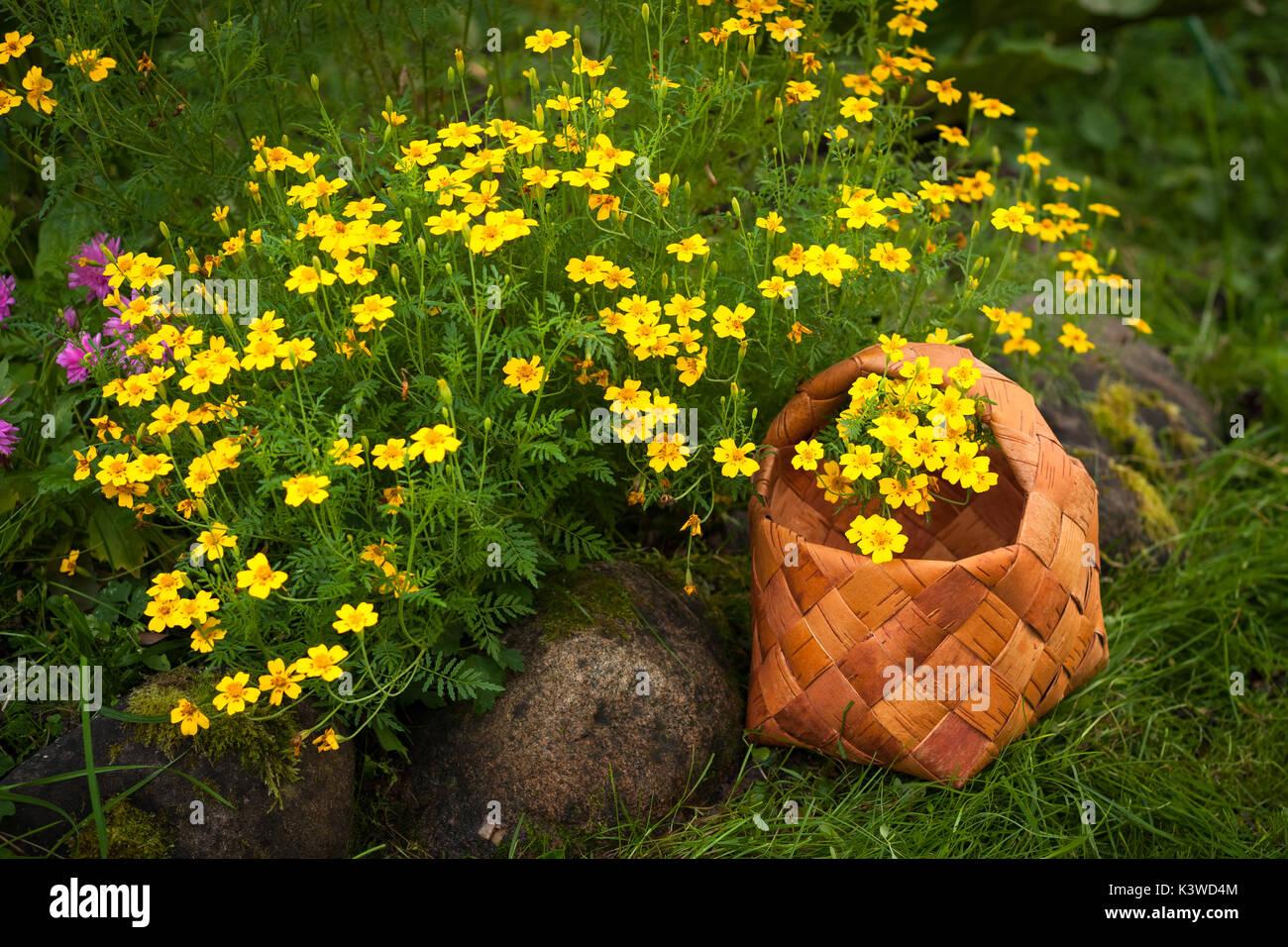 Fiori Gialli Per Giardino.Fiori Da Giardino Tagetes Tenuifolia Cesto Di Vimini Con Fiori