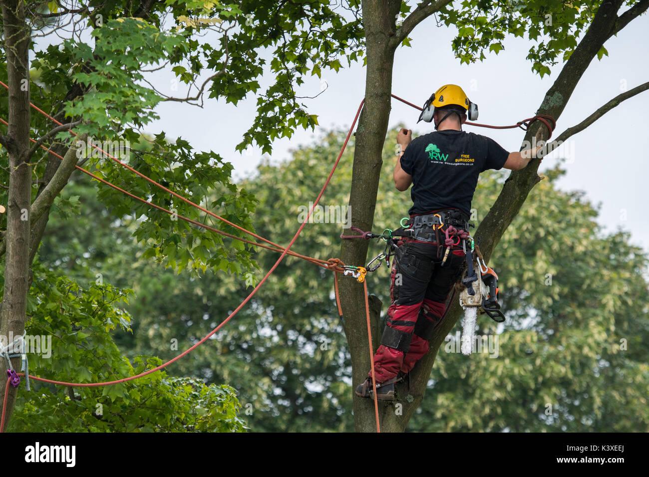 Tree chirurgo lavora in indumenti protettivi, utilizzando arrampicarsi sulle funi di sicurezza & con chainsaw, è alto in rami di albero giardino - Yorkshire, Inghilterra, Regno Unito. Immagini Stock