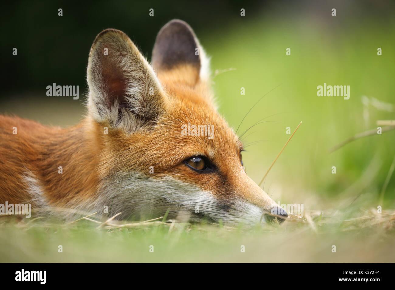 Un giovane volpe prendendo un po' di tempo a riposo Immagini Stock