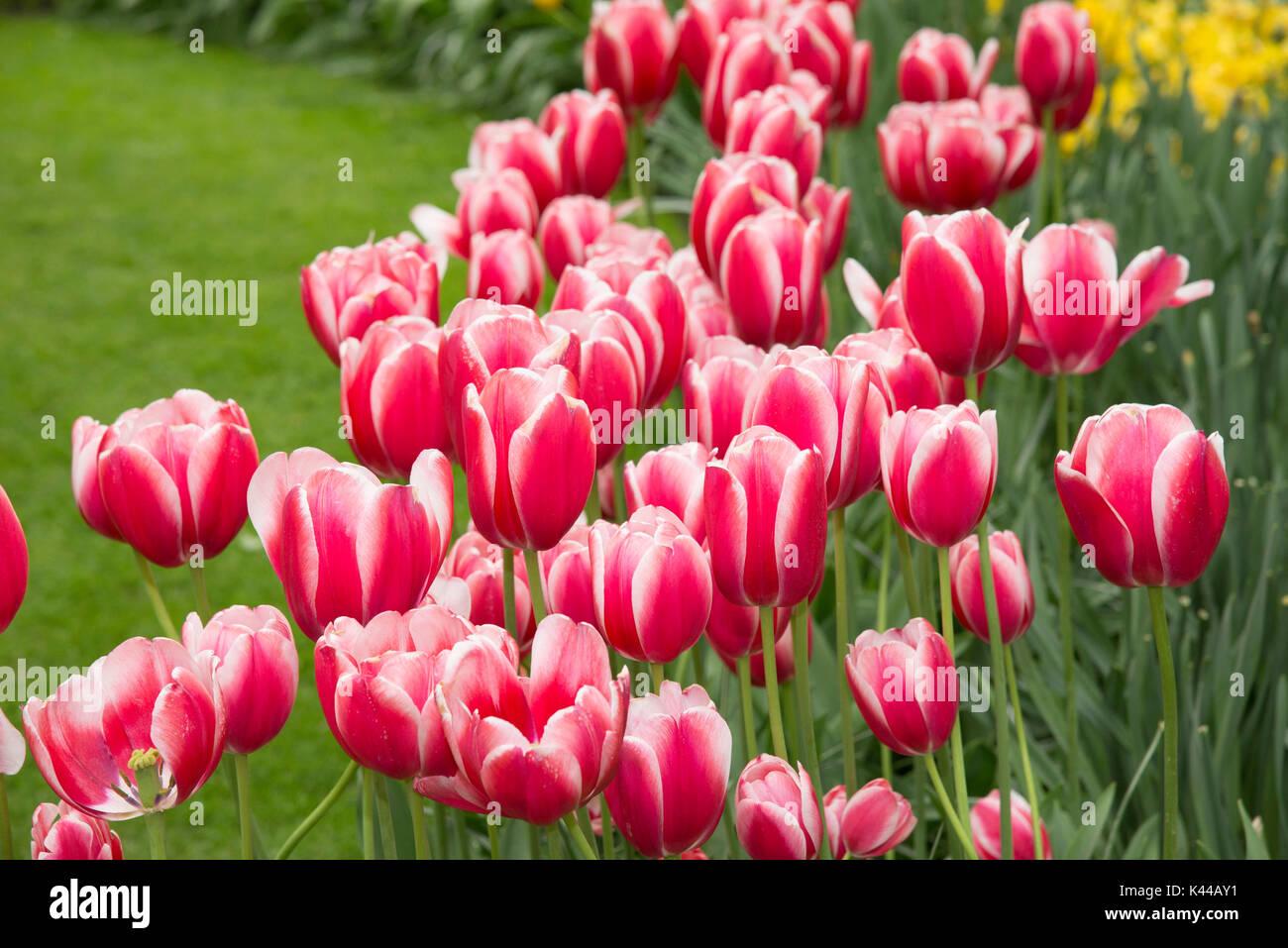 Fiori Nel Mondo.Fioriture Di Fiori Al Parco Keukenhof Nei Paesi Bassi Questo