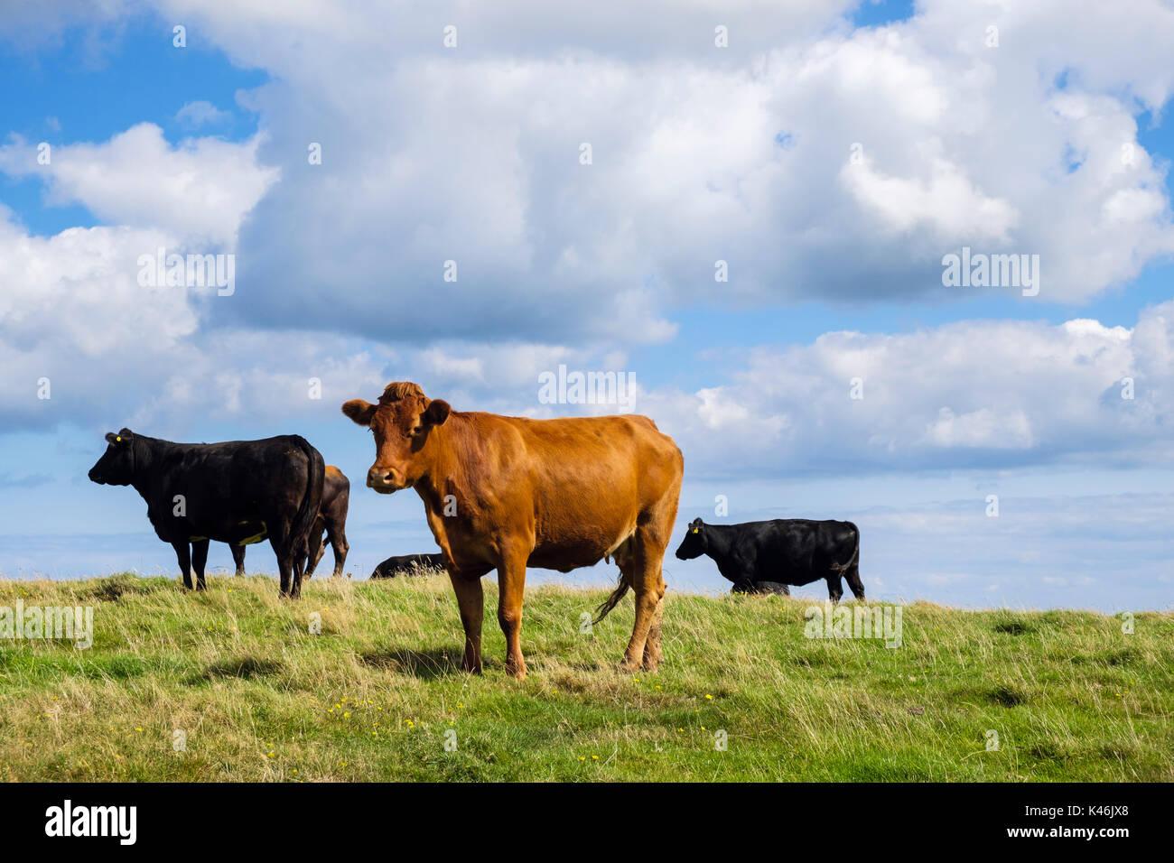 Allevamento di nero e marrone free-range vacche da latte in un campo in tarda estate. Isola di Anglesey, Galles, Regno Unito, Gran Bretagna Immagini Stock