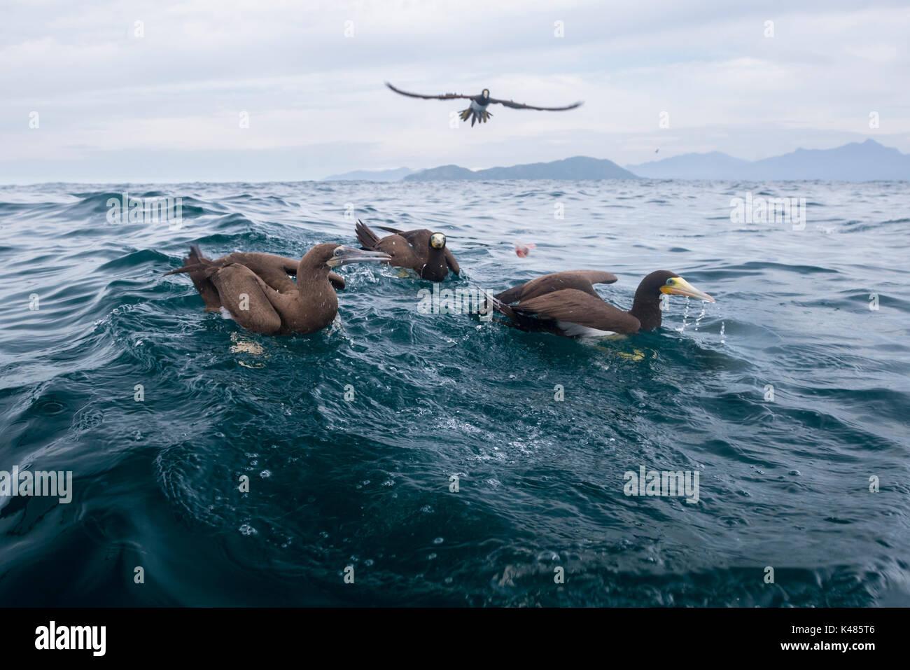 Brown Boobies (Sula leucogaster) galleggiante sulla superficie in oceano aperto, off Ilha dos Búzios, SE IL BRASILE Immagini Stock