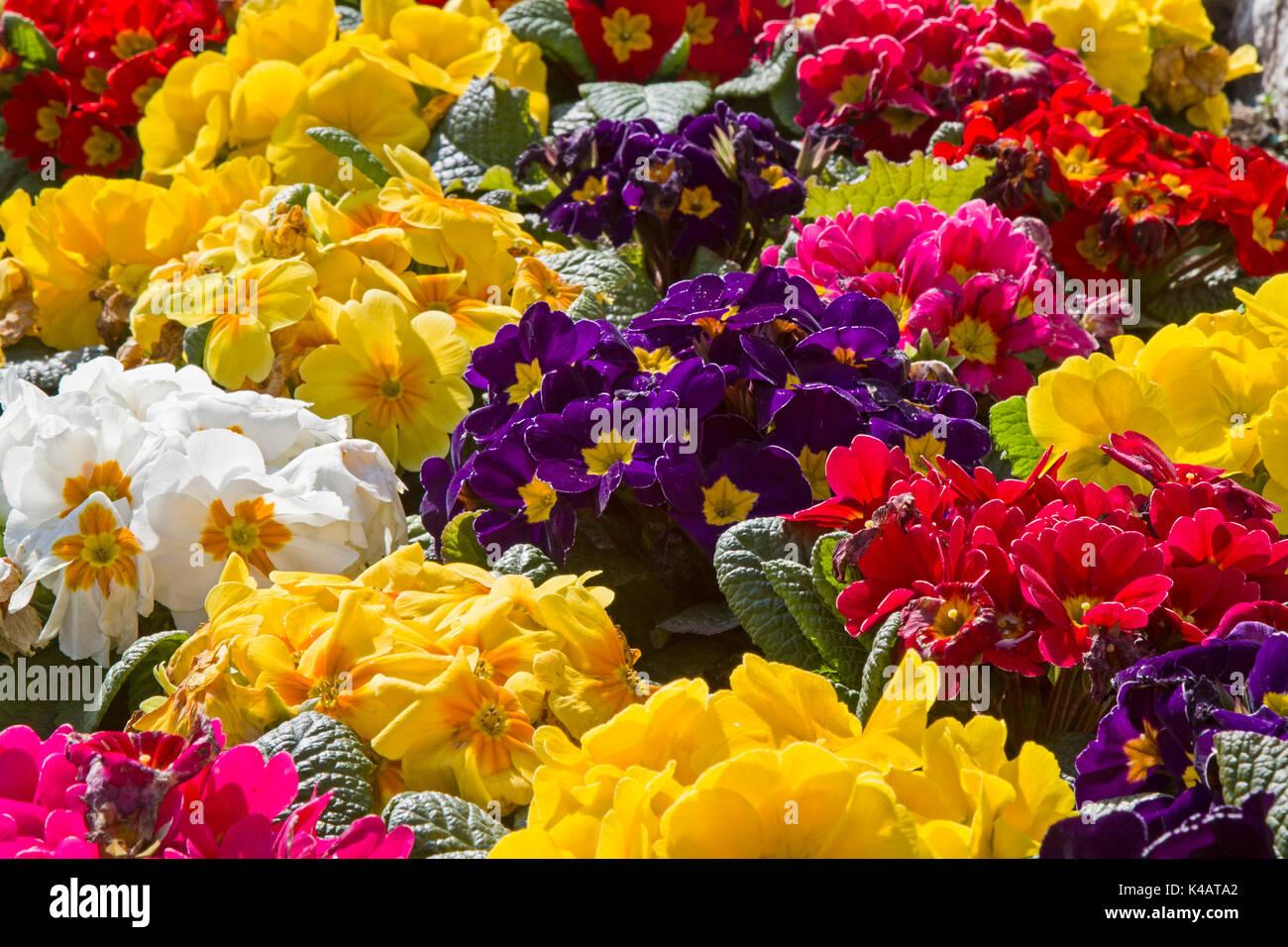 Viele Bunte Frühlingsblumen Immagini Stock